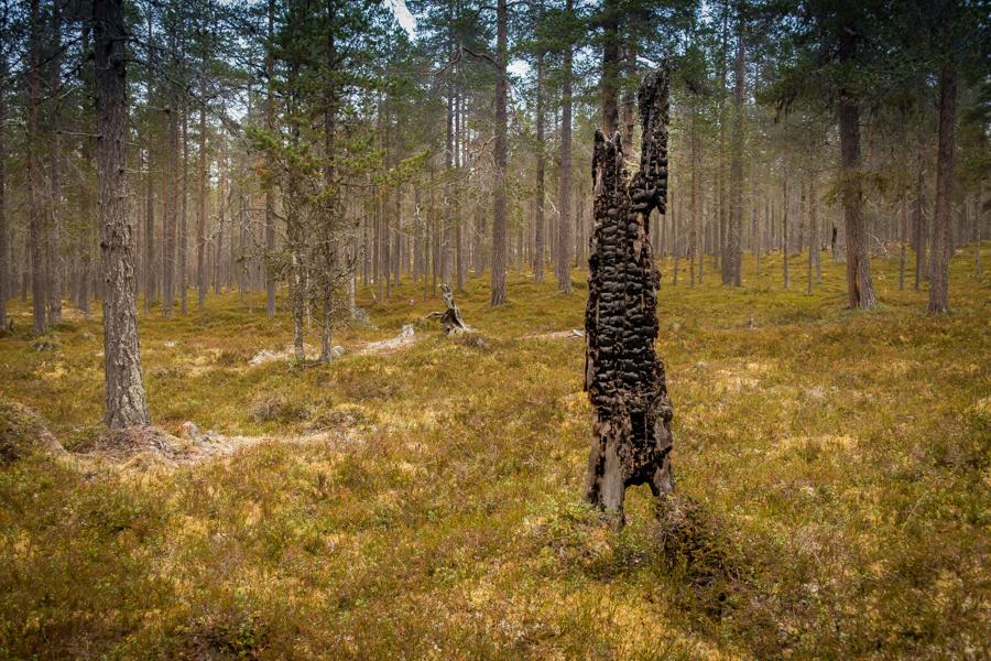 Häftig skogsbrand rasade här någon gång, hela området är fullt med utbrända träd.